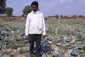 Distraught over the low prices of vegetables, Premsingh Lakhiram Chauhan, a farmer from Pahegaon village in Maharashtra, destroyed his ready-to-harvest crop of cauliflower with a hoe.