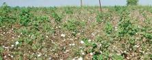 On the ground: A Bt cotton field. The study says that the quantity of toxin exuded within a Bt cotton plant sowed in deep soil was nearly three times as much as that of shallow soil.