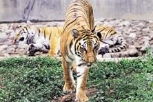 Project Tiger got <span class='WebRupee'>Rs.</span>167.7 crore of the <span class='WebRupee'>Rs.</span>340.06 crore allocated to wildlife preservation in the last budget. Photo: Anupam Nath/AP