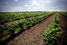 A file photo of a vineyard in Cognac, France. Photo: Bloomberg