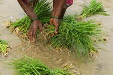 A better-than-expected start to the monsoon in an El Nino year has eased concerns of dry weather fuelling inflation in India, where food costs represent almost half of the consumer price index. Photo: HT