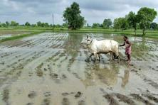 While wet weather early in the season meant farmers increased crop sowing, prospects dimmed as rainfall tapered off earlier this month. Photo: Reuters