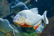 The red-bellied piranha. Photo: iStock