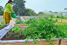 Kitchen garden news livemint for Terrace kitchen garden india