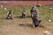 'The state of Himachal Pradesh has reported damage to life and property including large scale destruction of agriculture by Rhesus Macaque monkeys in areas outside forests', said the ministry notification. Photo: AFP