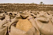 India's wheat imports would be the highest since 6.7 million tonnes arrived in 2006-07 and way above 500,000 tonnes of last year, data from the US Department of Agriculture shows. Photo: Ramesh Pathania/Mint