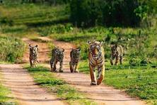Tigers at the Bandhavgarh Tiger Reserve.