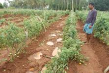 Tomato plantation destroyed by elephants. Photo: Krithi Karanth