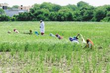 Overall, farmers have planted a record area under pulses, prompted by higher prices and ample rain, but cut the area under genetically modified Bt cotton due to fear of pest attacks. Photo: Hindustan Times