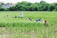 Overall, sowing of Kharif crops were 4.4% more than normal or the average over the past five years. Photo: Mint