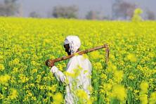 If GM mustard gets approval from the GEAC, it will become the first transgenic food crop to be commercially cultivated in India. Photo: Parveen Kumar/HT