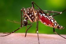 Chikungunya, which is commonly transmitted by the daytime-biting aedes aegypti mosquito, can cause debilitating symptoms including fever, headache and severe joint pain. Photo: AP
