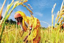 A study that was published in Antiquity and Journal of Archaeological Science shows that domestication of rice in India may have developed in tandem with China. Photo: Mint