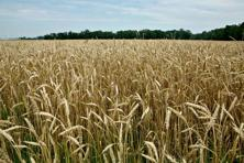 Despite concerns that late sowing may affect yields, according to the Indian Institute of Wheat and Barley Research (IIWBR), Karnal, the crop situation is good. Photo: Bloomberg