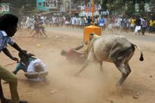 Jallikattu supporters have been demanding an ordinance for conducting the bull taming sport after the Supreme Court imposed a ban on it. Photo: AFP