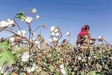 In December 2016, global cotton prices remained stable on a month-on-month basis at nearly 79.5 US cents per pound. Photo: Bloomberg