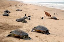 The mass nesting of Olive Ridley turtles, where thousands of females come together on the same beach to lay eggs, is a major tourist attraction. Photo: AFP (representational image)