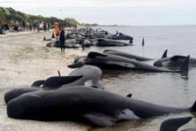 Hundreds of pilot whales are stranded at Farewell Spit near Nelson, New Zealand. It was New Zealand's largest known whale stranding since 1985, when 450 were stranded in Auckland, and the third largest on record. Photo: AP