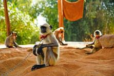 Pendrao Bujji sells 10-15 langurs each month during pre-harvest seasons. Photo: Siva Babu D.