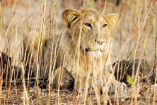 Asiatic lions, which evolved in Europe, are believed to have moved South over millennia, and now survive only in Gujarat in India. Photo: Reuters