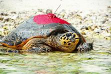 Turtles are smuggled either for food or to be kept as pets.