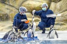 Humboldt penguins are fed in their enclosure at Mumbai's Veermata Jijabai Bhosale Udyan. Photo: Kunal Patil/Hindustan Times