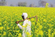 In the backdrop of protests against GM mustard, the environment ministry on Saturday published an eight-page Frequently Asked Questions (FAQs) on its website. Photo: HT