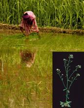 Testing time: A woman plants saplings in a paddy field in Bhogpur, Punjab. The GM crop, if it works, will prove to be a boon for water-starved India; (inset) the common garden weed Arabidopsis thalian