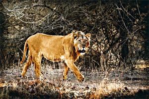 New abode: A file photo of a lion inside the Gir sanctuary. The new conservation area will be spread across 109 sq. km in the Jesar-Hipavadli zone, about 70km from Gir, where the state will create bre