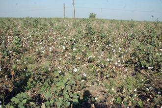 When Bt cotton was introduced, the biosafety tests conducted before commercialization claimed that contamination is not a major issue. Photo: Mint
