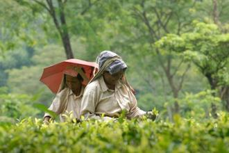 India is the world's second largest producer and biggest consumer of tea. Photo: Indranil Bhoumik/Mint