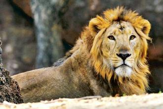 A file photo of an Asiatic lion at the Nehru Zoological Park in Hyderabad. Photo: AFP
