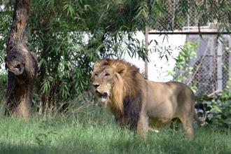 An eight-year-old asiatic lion looks on in his enclosure at the Kamla Nehru Zoological Gardens in Ahmedabad on 3 May 2015. Photo: AFP