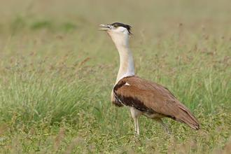 Since India adopted a comprehensive framework to protect its wildlife in 1972, the Great Indian Bustard may just be the first species bordering on extinction.