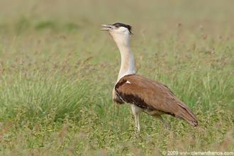 There are less than 120 of Great Indian Bustard surviving in three states. Photo: Clement Francis