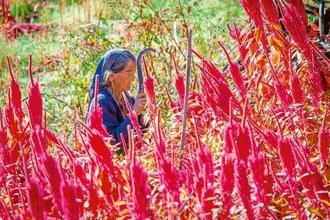 An elderly lady harvests her amaranth crop. Photo: Alamy