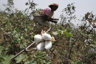 If accepted, the recommendations will benefit nearly 8 million cotton farmers in India but may raise concerns about how India views its intellectual property rights regime. Photo: AP