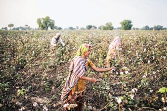 Centre has slashed royalty fees on Bt Cotton despite Monsanto's threat to re-evaluate its India business if such a move was considered. Photo: Bloomberg