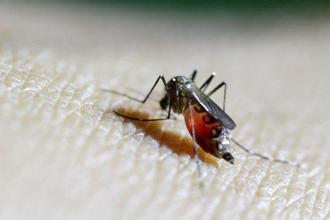 A female Aedes aegypti mosquito. The global spread of the vector, facilitated by trade, has been accompanied by deadly outbreaks and epidemics. Photo: Reuters