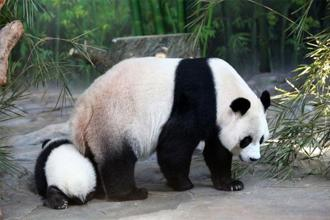 "The giant panda has been downgraded from being ""endangered"" to being ""near threatened"" because of the action taken by Chinese authorities to save this species. Photo: Getty Images"