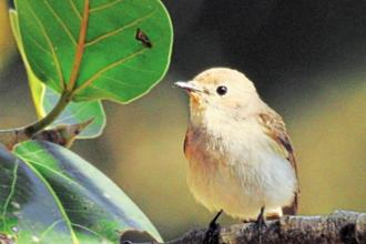 It's difficult to comprehend how the tiny bird-taiga flycatcher-travels all the way from Siberia (the name comes from its breeding ground—the Taiga forest) to spend the winter in central India.