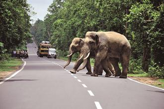 Chasing away elephants by scare tactics causes more damage as the herd splits into smaller groups and runs in various directions. Photo: Kumar Vimal