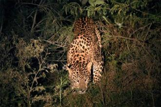 The leopard  which was spotted at the Yamuna Biodiversity Park in Wazirabad, Delhi.  Photo: PTI