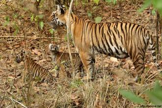 NHAI wants to build a four-lane expressway that would splice open a vital tiger corridor connecting two famous wildlife parks, Kanha and Pench, in Madhya Pradesh.  Photo: Tarique Sani