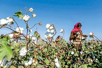 Around eight million farmers grow cotton in India and the double gene Bt cotton technology supplied by Mahyco Monsanto accounts for 95% of the seed market. Photo: Bloomberg