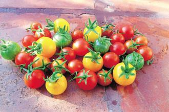 The biggest challenge is making mass-produced tomatoes as sweet as their ancestors.