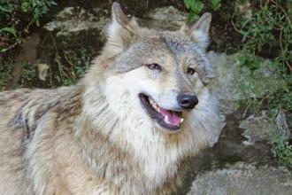 A Himalayan wolf. Photo courtesy Lauren Hennely