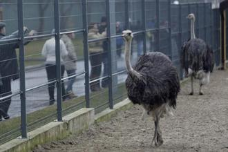 The origin and evolution of ostrich is widely attributed to the continental drifting of Gondwanaland or Gondwana. Photo: Reuters