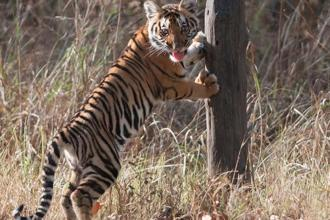 A tiger cub at the Kanha National Park, Madhya Pradesh. Photo: Prithvi Gill