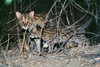 Fishing cats captured on camera. Photo: Bholu Abrar Khan